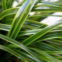 Picture of Carex Everlime