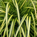 Picture of Carex Eversheen