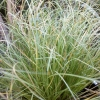 Picture of Carex Frosted Curls