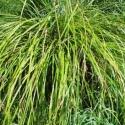 Picture of Carex Lambertiana 10 Pack
