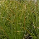 Picture of Carex Secta 10 Pack