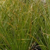 Picture of Carex Secta