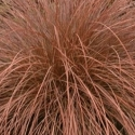 Picture of Carex Tenuiculmis