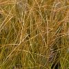 Picture of Carex Testacea