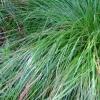 Picture of Carex Virgata