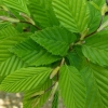 Picture of Carpinus Betulus Fastigiata