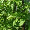 Picture of Carpinus Betulus