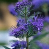 Picture of Caryopteris Dark Knight