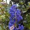 Picture of Ceanothus Blue Sapphire Std