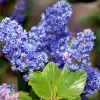 Picture of Ceanothus Joyce Coulter