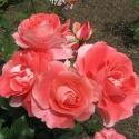 Picture of Celine Delbard-Rose
