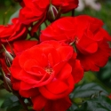 Picture of Centurion-Rose
