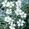 Picture of Cerastium Snow in Summer
