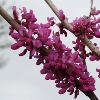 Picture of Cercis Avondale