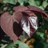 Picture of Cercis Merlot
