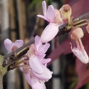 Picture of Cercis Silaquastrum Pink