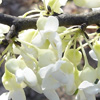 Picture of Cercis Texas White