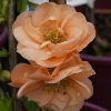 Picture of Chaenomeles Cameo 90cm Std