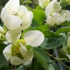 Picture of Chaenomeles Green Ice