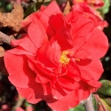 Picture of Chaenomeles Pink Storm