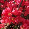Picture of Chaenomeles Red Rambler 90cm Std