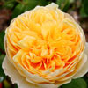 Picture of Charlotte Std 80cm-Rose