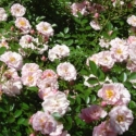 Picture of Charming Bells Std 1.8m Weeper-Rose