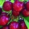 Picture of Cherry Dble Stella/Lapins