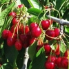 Picture of Cherry Lapins