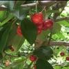 Picture of Cherry Modesto