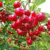Picture of Cherry Oblacinska
