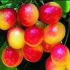 Picture of Cherry Rainier
