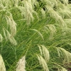 Picture of Chionochloa Flavicans