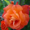 Picture of Christchurch 1.5m Pillar-Rose