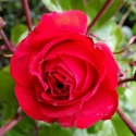 Picture of Christchurch Remembers Std 80cm-Rose