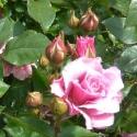 Picture of Cinderella Std 45cm-Rose
