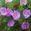 Picture of Cistus Brilliancy