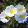 Picture of Cistus Snowmound