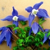 Picture of Clematis Alpina Blue Giant