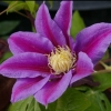 Picture of Clematis Barbara Jackman