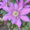 Picture of Clematis Kathleen Dunford