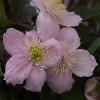Picture of Clematis Montana Elizabeth