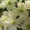 Picture of Clematis Montana Jenny