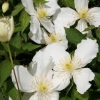 Picture of Clematis Montana Snowflake