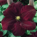 Picture of Clematis Niobe