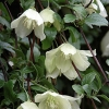 Picture of Clematis Wisley Cream