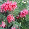 Picture of Clianthus Red Kaka Beak