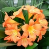 Picture of Clivia Miniata