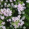 Picture of Coleonema Compactum