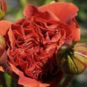 Picture of Colourbreak-Rose